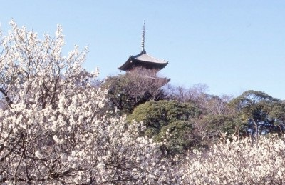 Sankeien Garden Plum Blossoms Viewing 2018