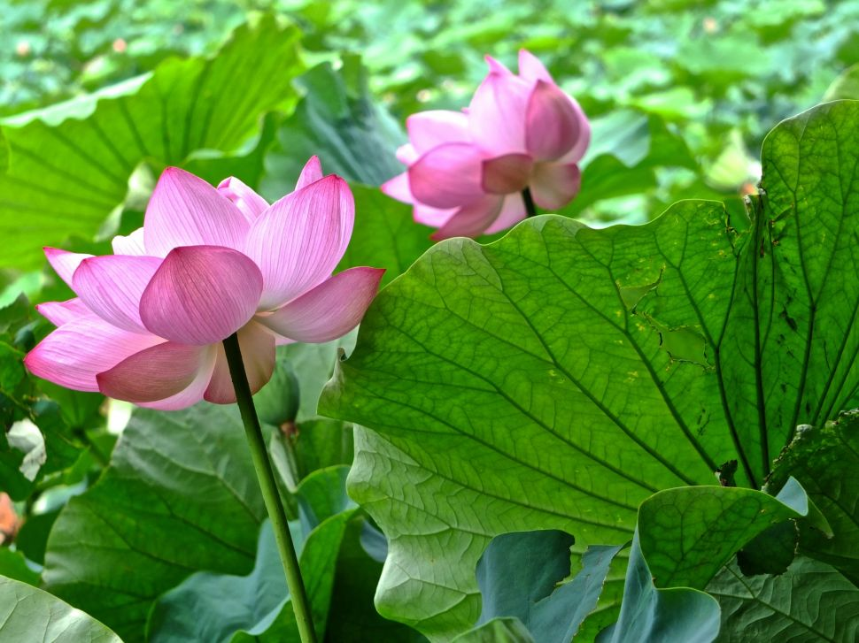 Sankeien Garden Early Morning Lotus Viewing 2019