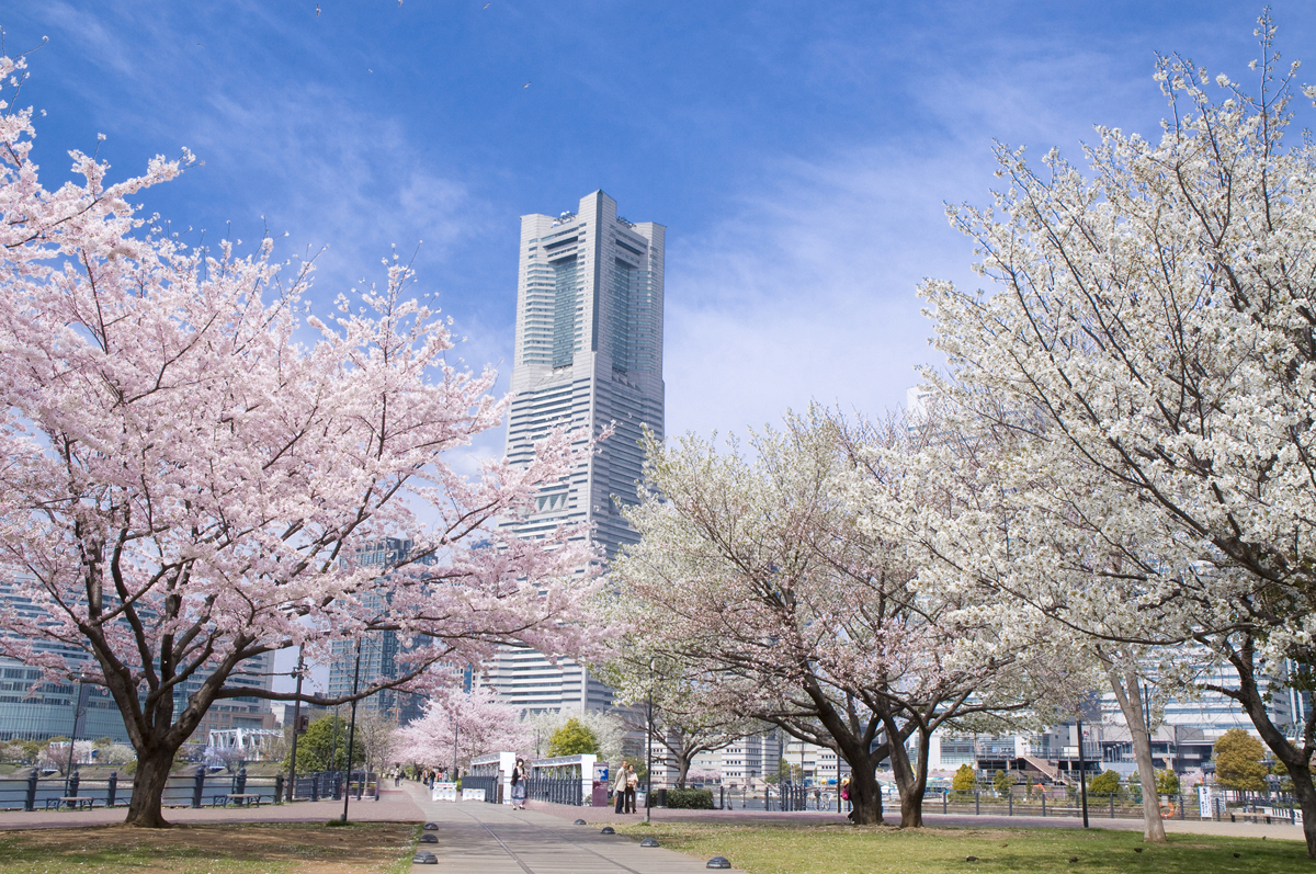 Top 10 Best Cherry Blossoms (Sakura) Viewing Spots in Yokohama, 2019 edition is released!